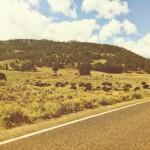 Buffalo on the road in Yellowstone N.P.